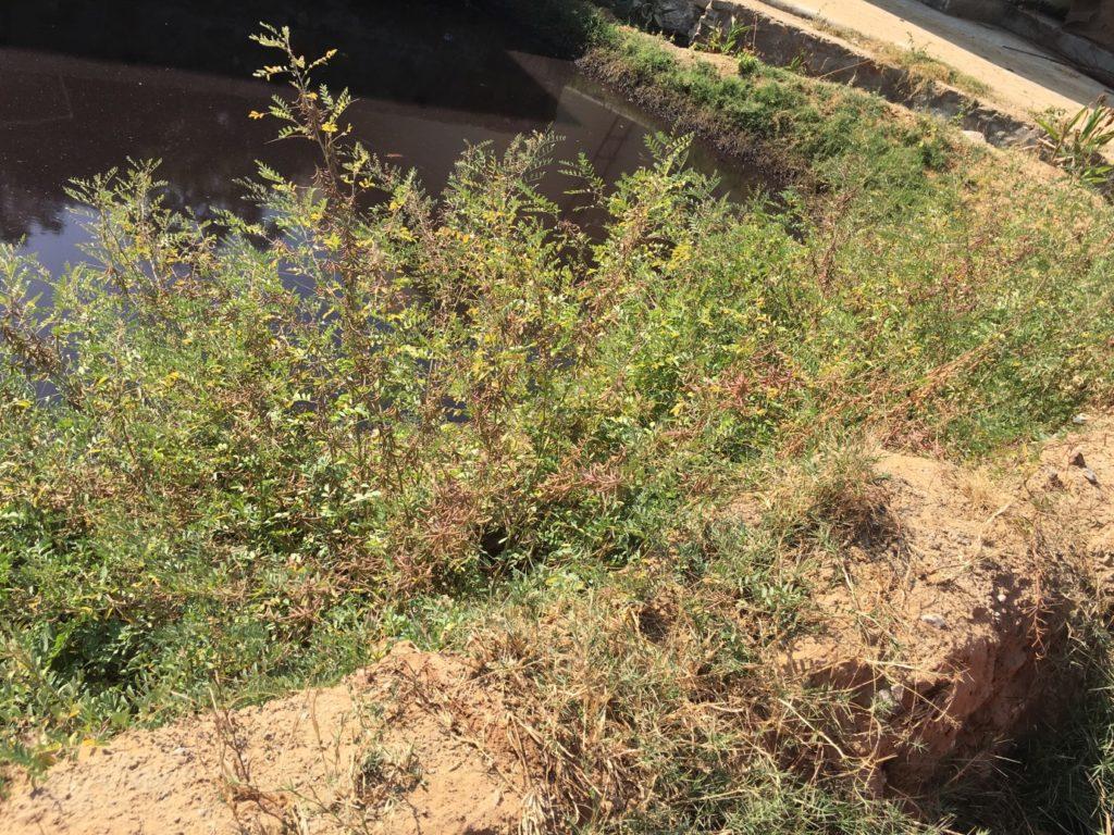 Indigobüsche wachsen am Ufer eines kleinen Teiches auf dem Gründstück von Jai Texart.